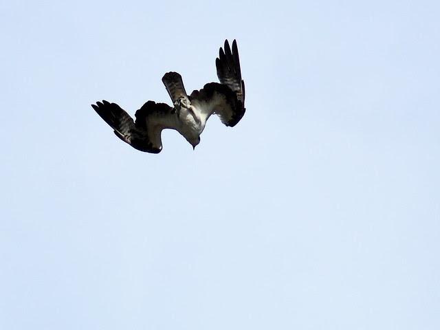 Osprey diving 20111204