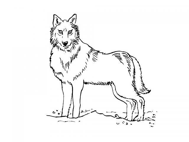 Coloriage De Loup A Imprimer