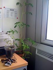 Plants de tomate #5