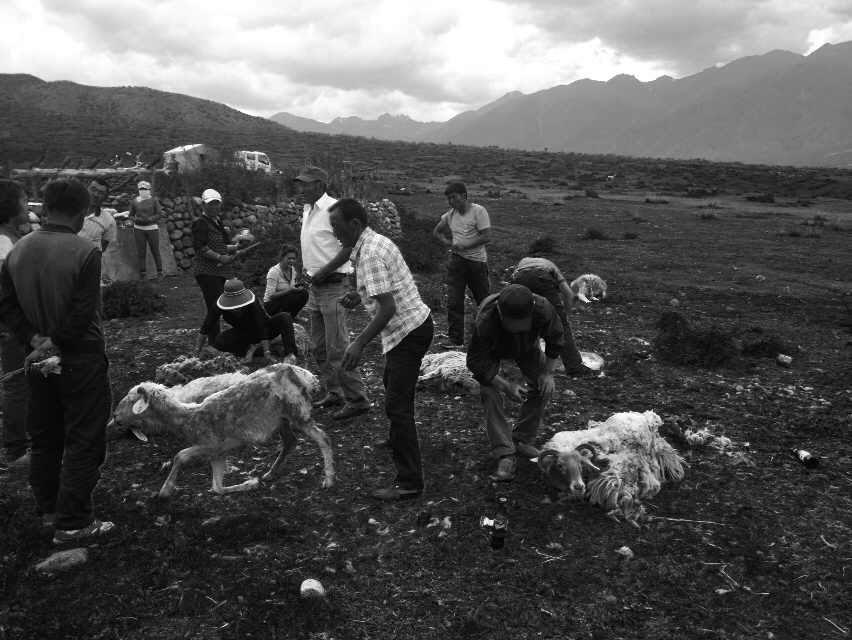 Shearing season.