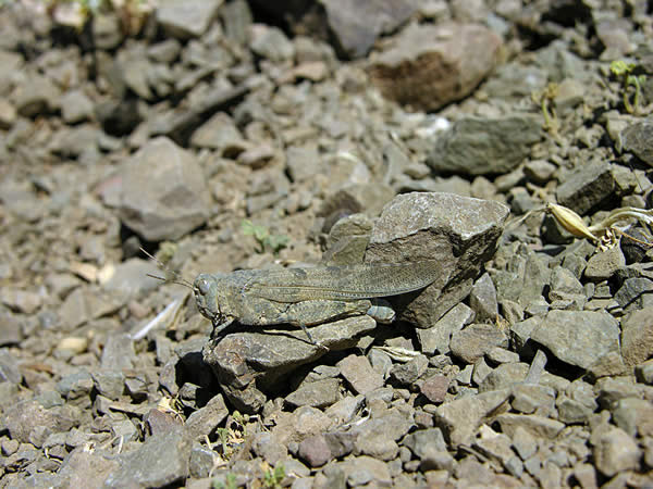 Camouflaged Rock Grasshopper