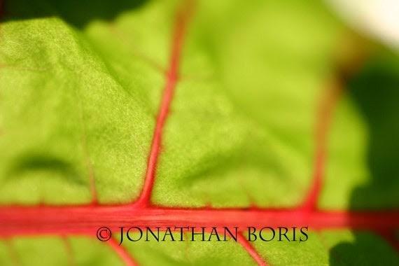 Red Veined Leaf- 8x10 Print