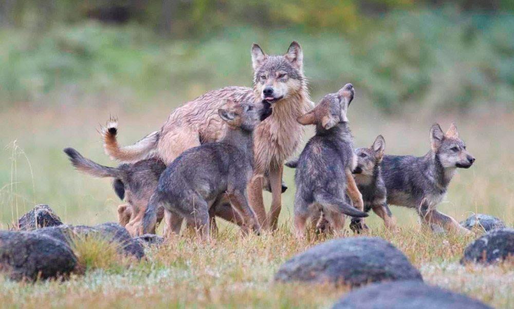 Manada De Lobos En Su Hábitat Imágenes Y Fotos