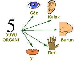 3 Sınıf Duyu Organları Konu Anlatımı