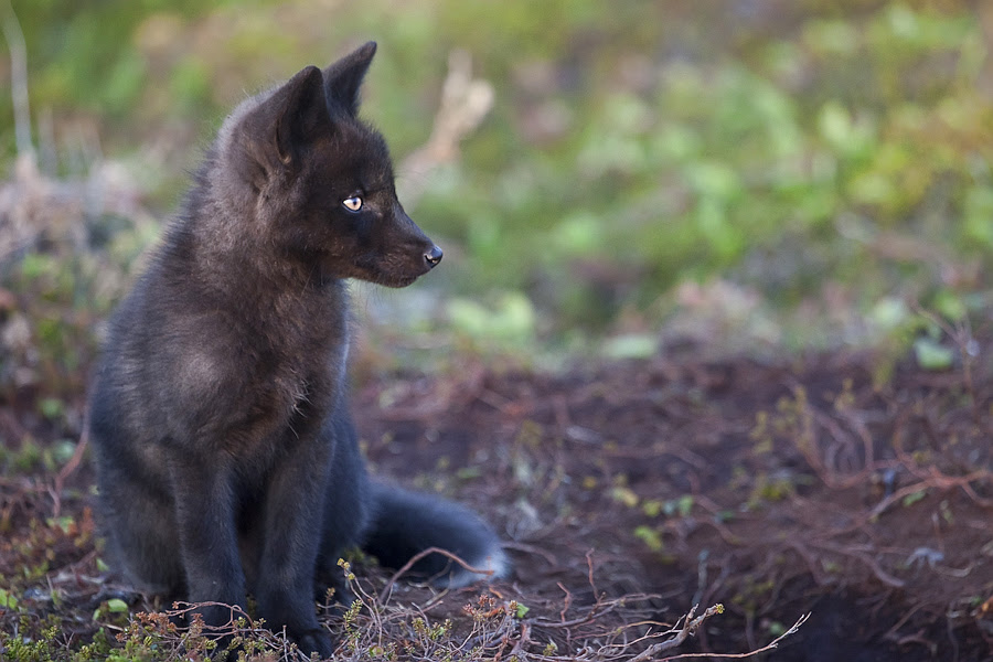 http://vignette1.wikia.nocookie.net/animal-jam-clans-1/images/8/87/Baby_black_fox_by_bonavista_tim-d3jzi4b.jpg/revision/latest?cb=20160522135709