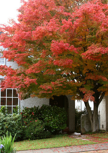 acer palmatum fall color
