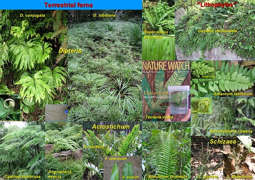Comparative Guide to Ferns by JWH Yong