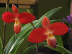 Vermillion Paphiopedum orchid