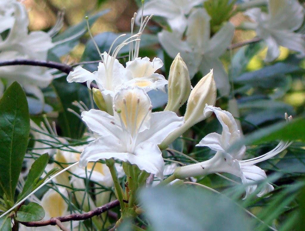 DSC06769 wild rhododendron occidentale