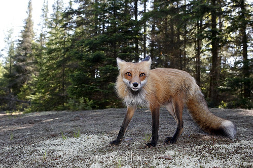 Furious Fox? by Megan Lorenz