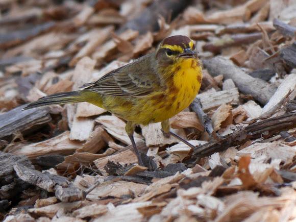 Ed Gaillard: recent &emdash; Palm Warbler, Tupelo Meadow, Central Park