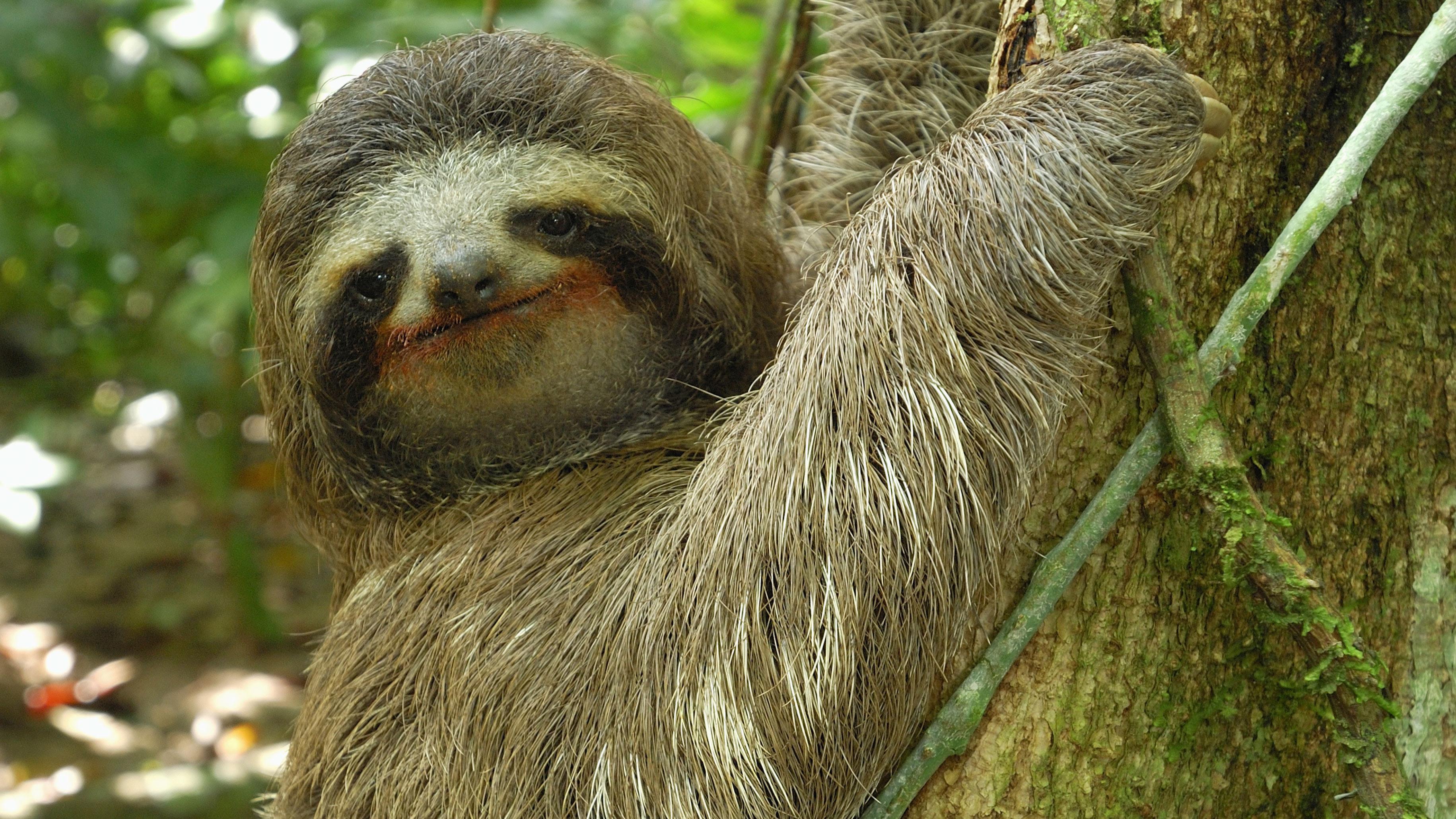 sloth translate: pereza, perezoso.Learn more in the Cambridge English-Spanish Dictionary.