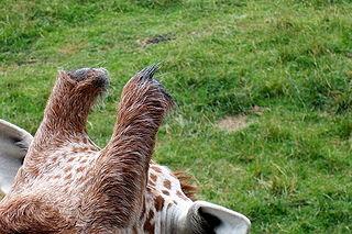 giraffe ossicones