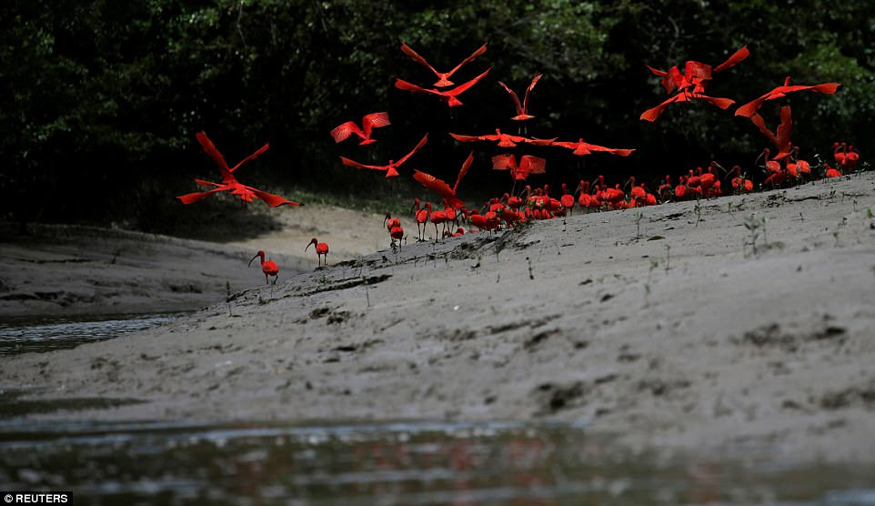 Scarlet ibis fly near the banks of a mangrove swamp located at the mouth of the Calcoene River on the coast of Amapa state, northern Brazil, on April 6