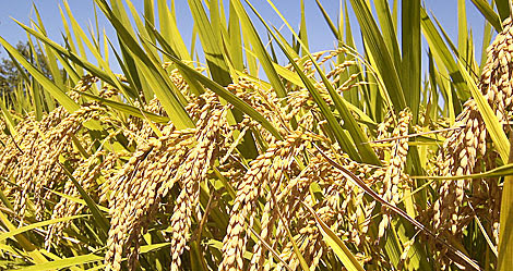 Cultivos de arroz. | IRRI