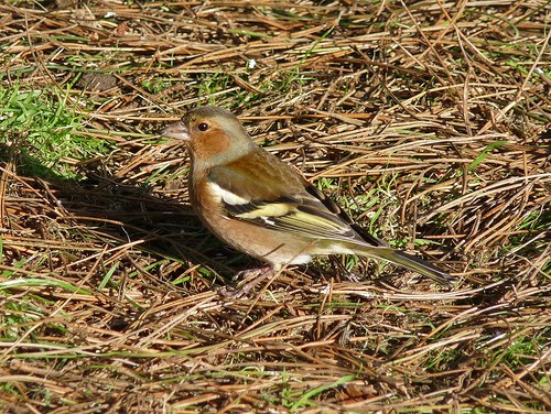 11821 - Chaffinch at WWT Llanelli