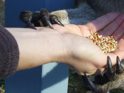 kangaroo claws
