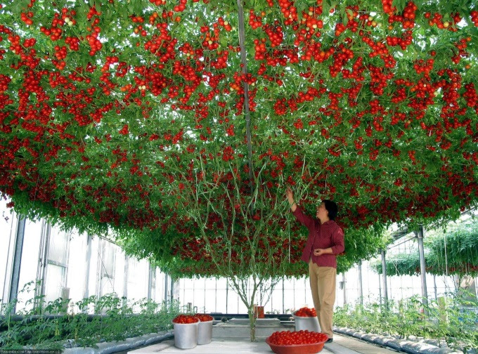 Taking tomato planting to a whole new level O_O