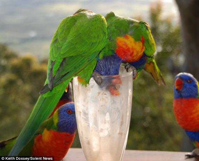 Get in: Two parrots dive in to get the last drops at the bottom of the glass