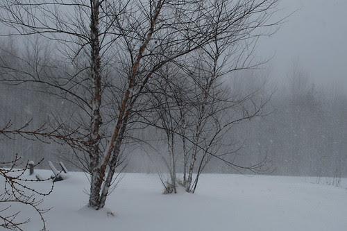 River birches in December