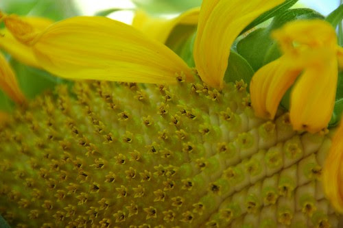 Sunflower, detail