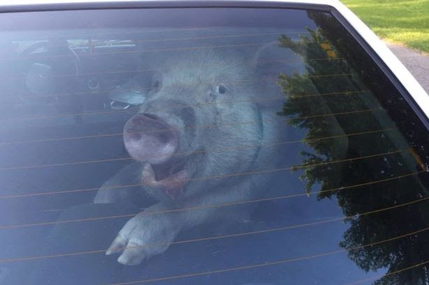 Grinning pig locked up by police