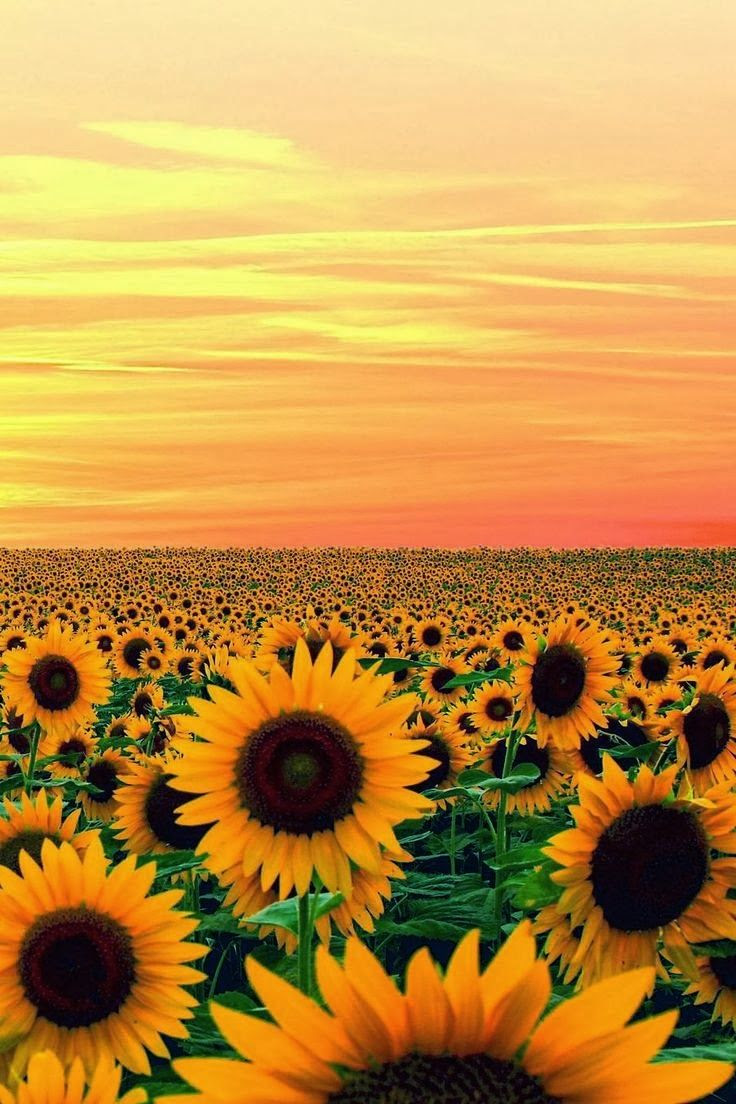 Sunset in Sun Flower Field, Maryland