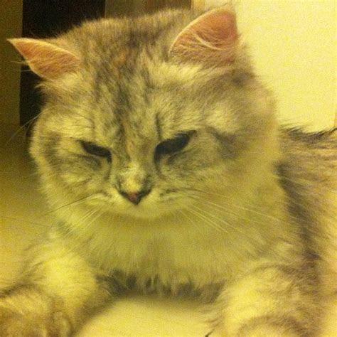 Japanese Catnip RARE XTRA STRONG ( Silvervine Matatabi