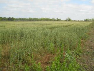 2015 Wheat, Early May