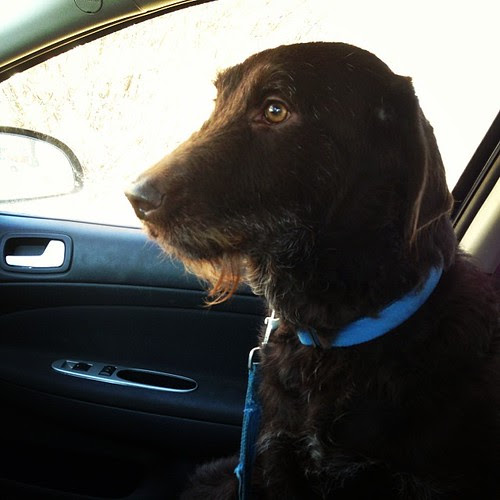 Today's running buddy. Not much of a conversationalist, but he's cute. #labradoodle #running #trails