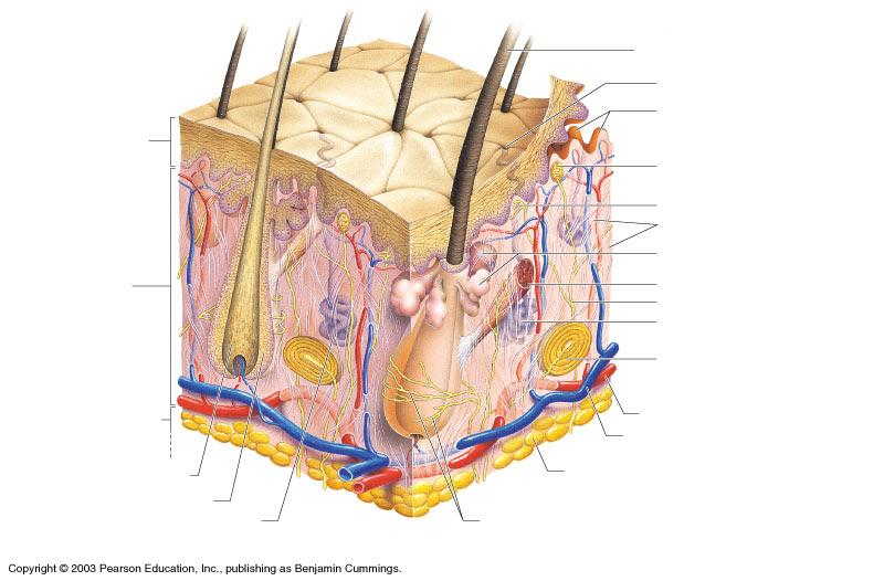 Gentry, Teresa M / Anatomy Diagrams