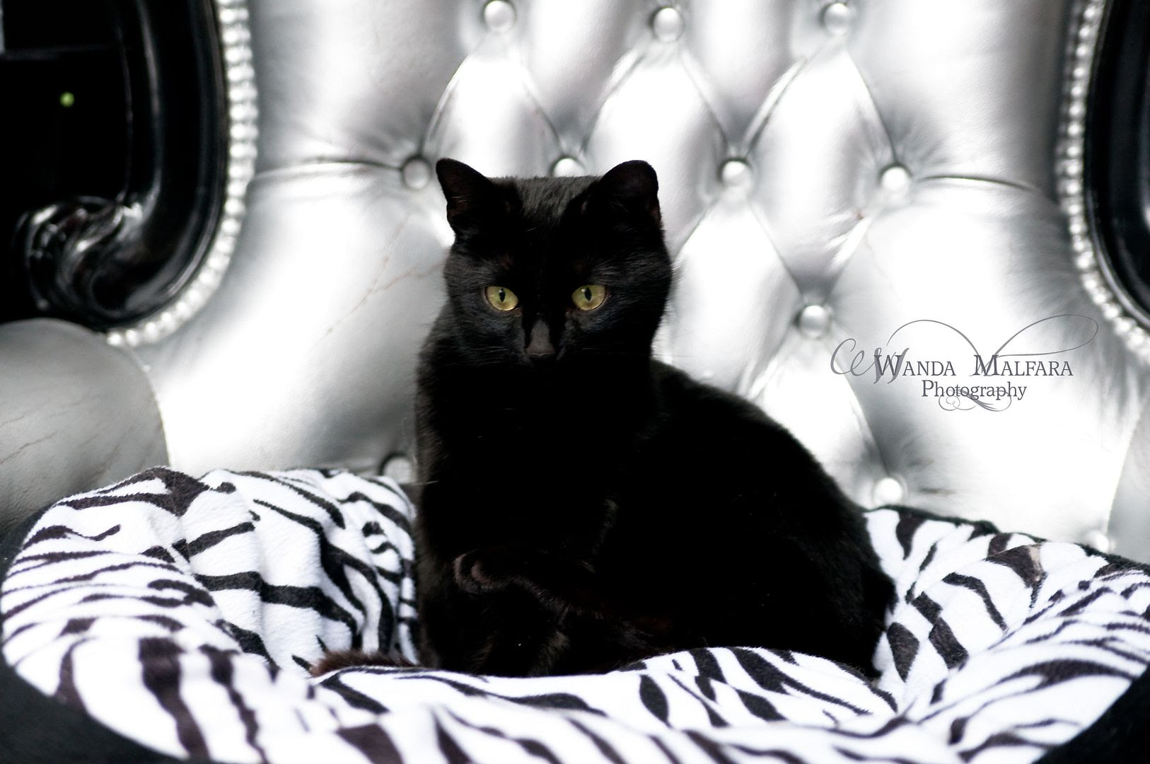 Thur Feb 7, 2013, Our beautiful rescue kitty...Bella!