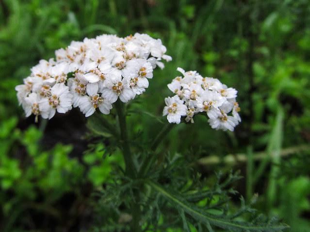 Yarrow Achillea millefolium : 7057