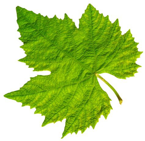 grape vine leaf png image pngpix