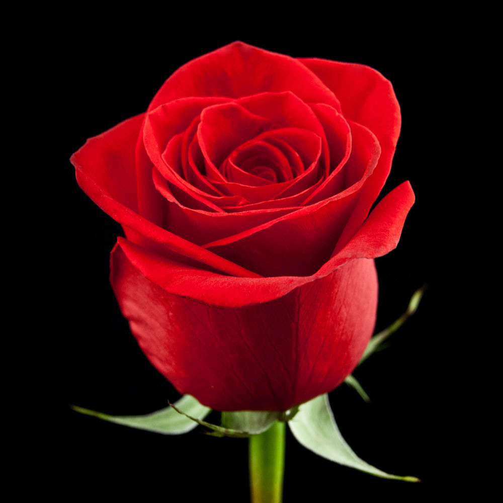 Red Rose National Flower Of Turkmenistan National Flowers By Country