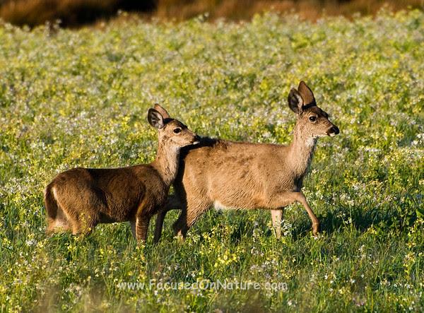 Blacktail Deer in Field of Flowers