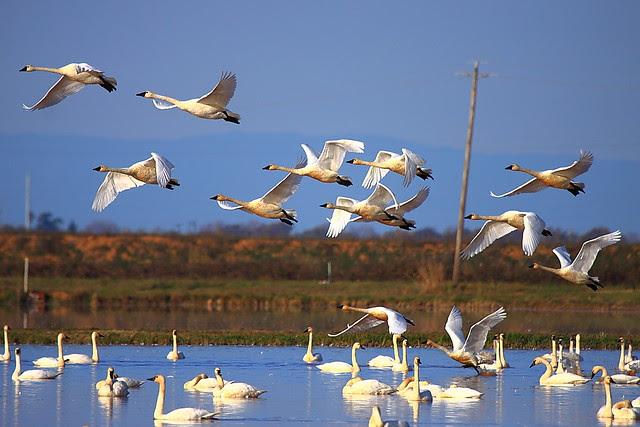 IMG_8984 Tundra Swan, Yuba County, CA