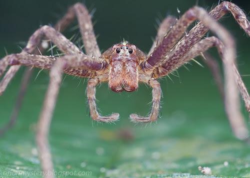 nursery web spider IMG_7931 copy