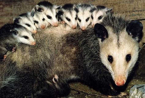 Avoiding Possum Health Hazards