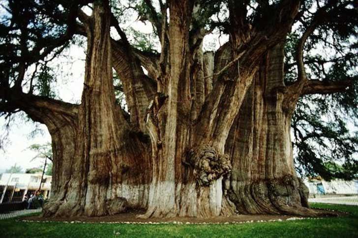 Los 10 árboles Más Increíbles Y Misteriosos Del Mundo Upsocl