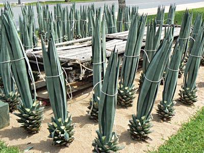 agaves devant Sisal.jpg