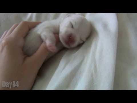 Pomeranian Dogs Health Information