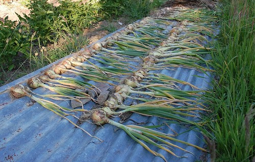onions and garlic drying