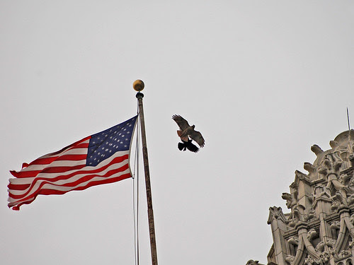CCNY Red-Tail and Crow