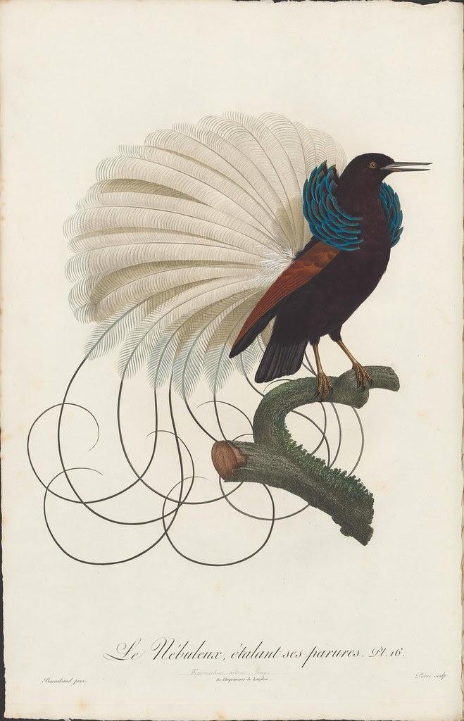 Le Nebuleux : order - Passeriformes family - Paradisaeidae
