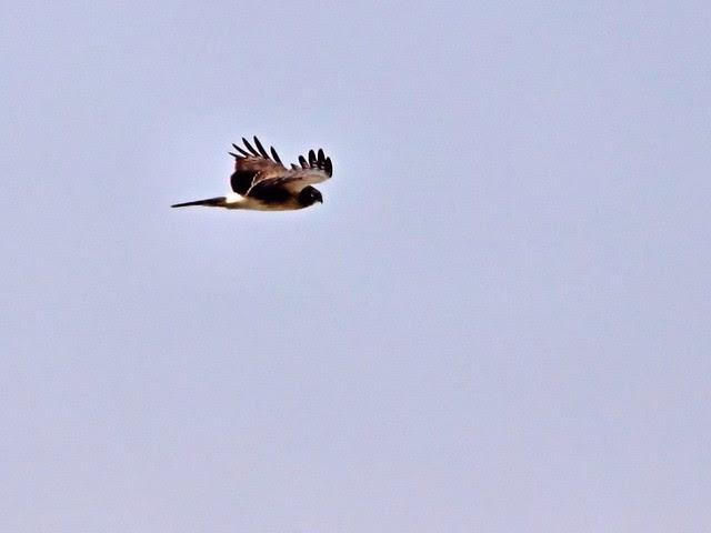 Northern Harrier 20130225