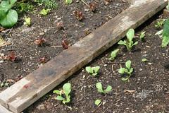 fall seedlings 014