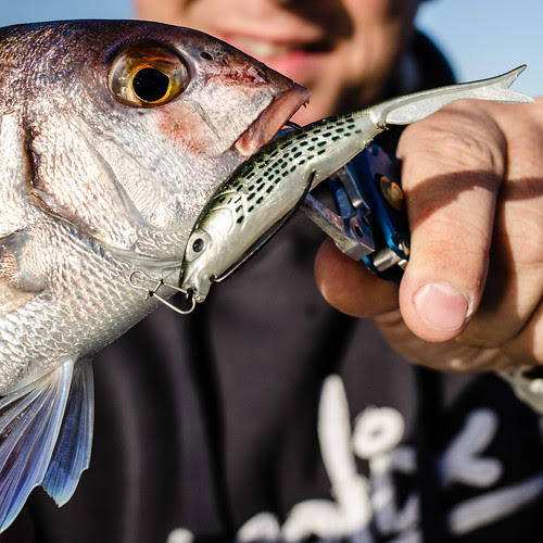 Close up of a Red porgy caught on a Virago soft plastic by Nicola Zingarelli