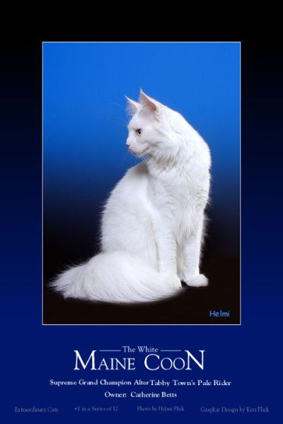 deaf white Maine Coon cat
