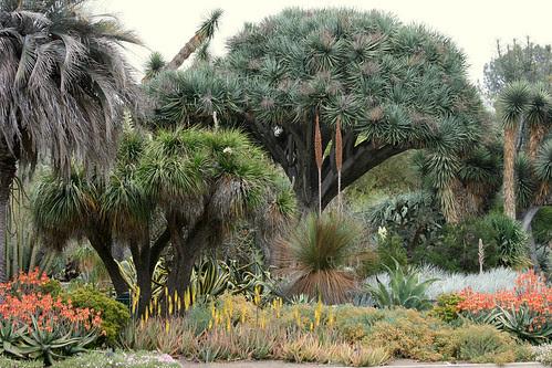 huntington dragon tree